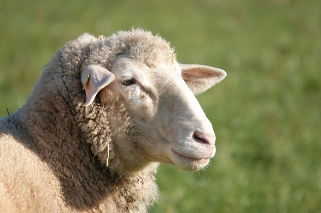 A stock image of a sheep