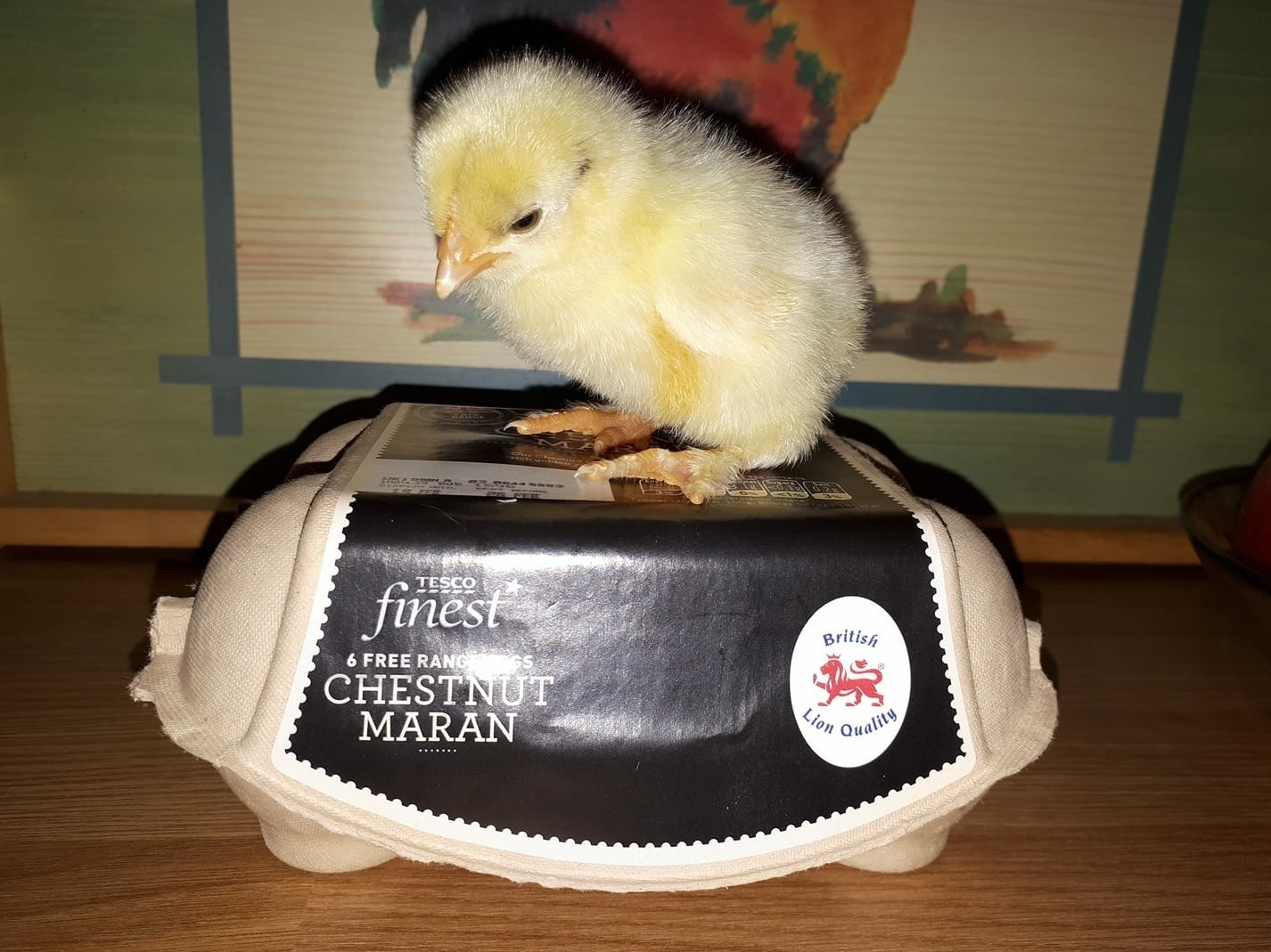 The chick hatched from a Tesco egg