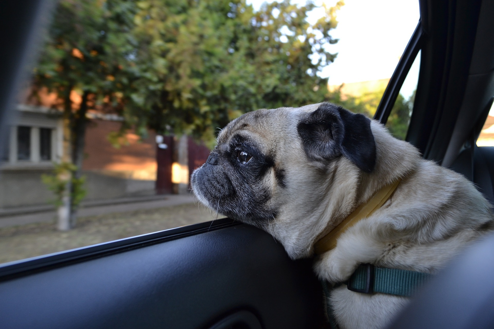 The Scottish SPCA has reported an 80 percent increase in calls about dogs in hot cars during the warm weather. Photo: Pixabay