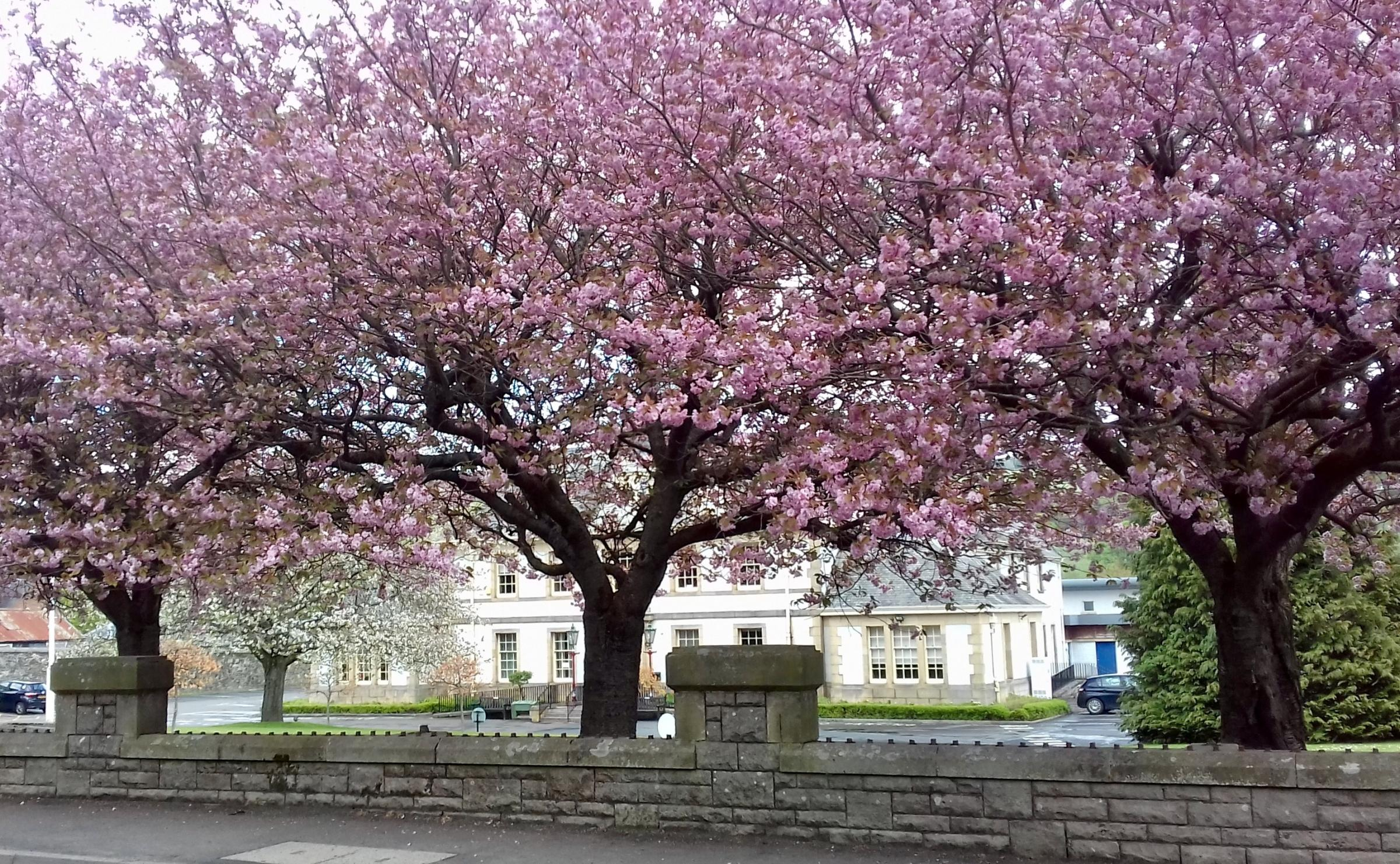"This photo was sent to us by Peeblesshire News reader Jean Ross, who added: ""These trees are magnificent in front of the council offices in Rosetta Road."" Send us your readers' photos by emailing editorial@peeblesshirenews.com – or"